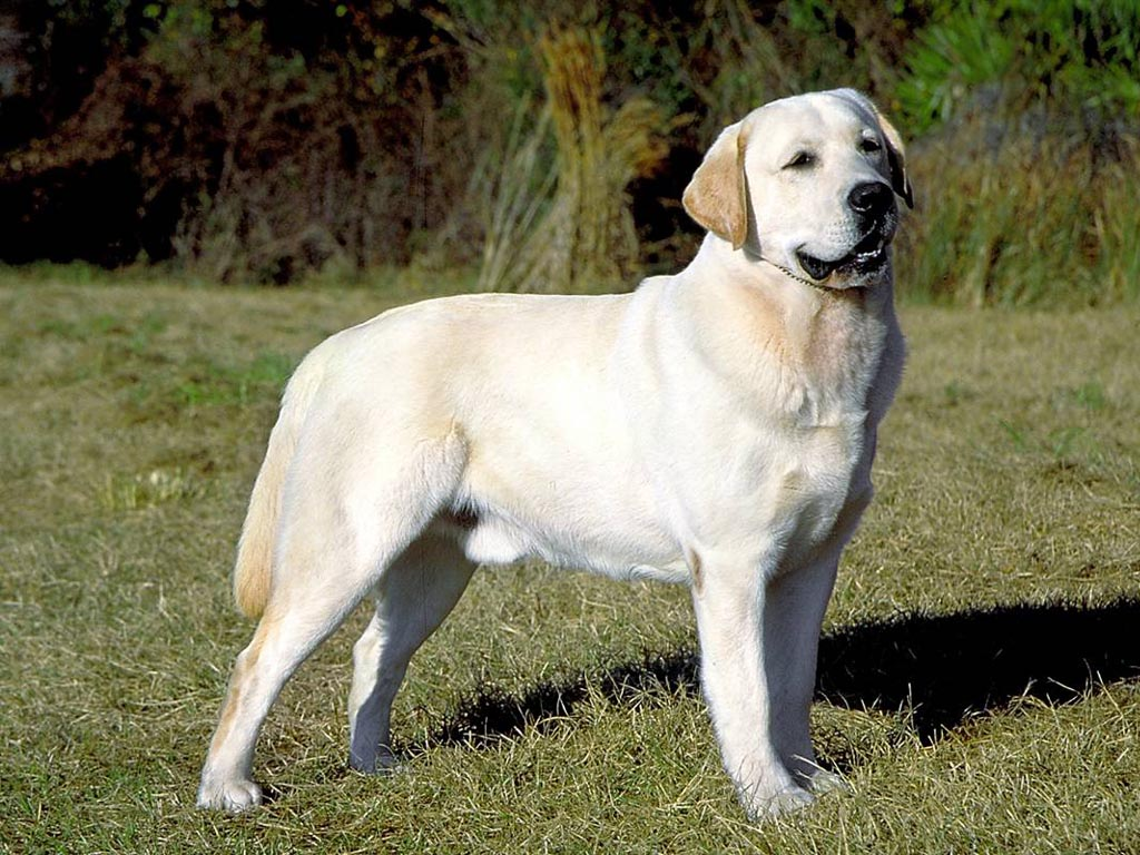 English Yellow Lab