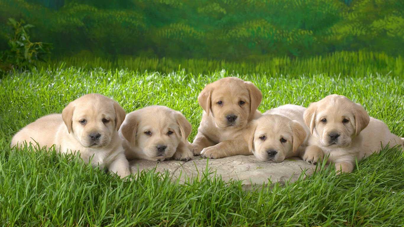 labrador retriever puppies 660x371 Yellow Labrador Retriever Puppies