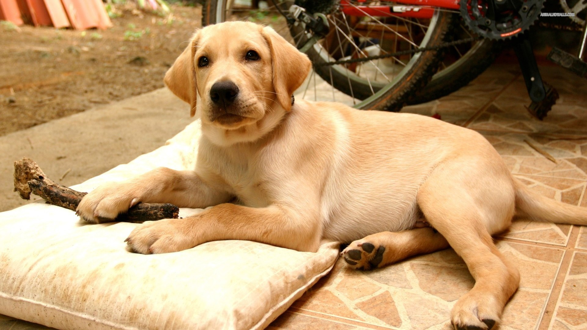 Yellow Lab Wallpaper · Yellow Lab Wallpaper ...
