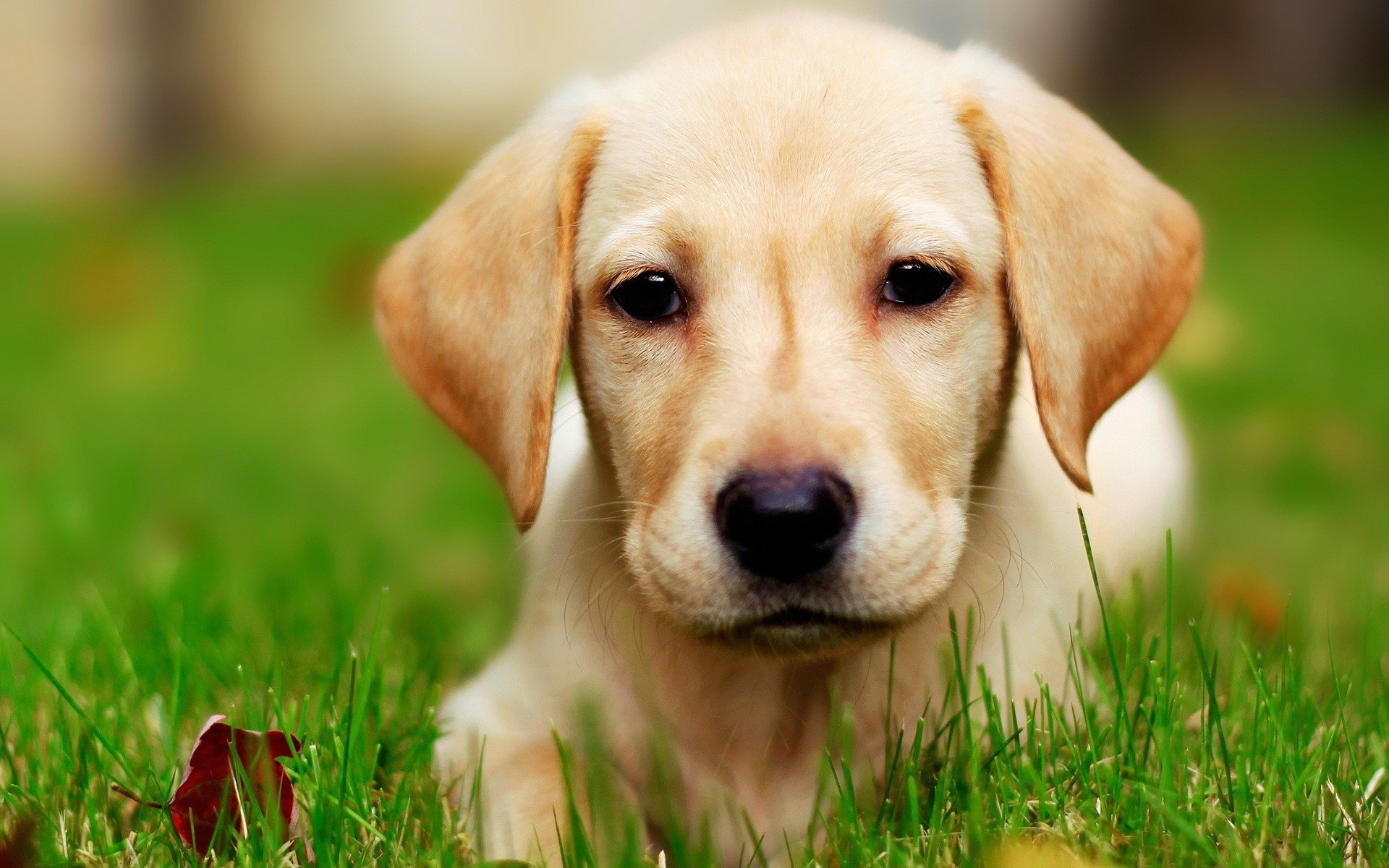 Yellow Lab Puppy