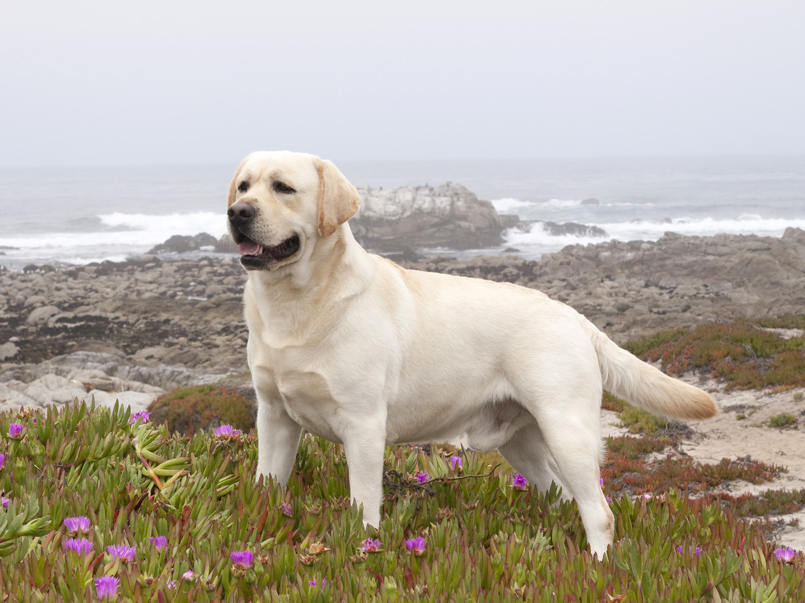 Yellow Labrador Retriever Among Ice Plant, California
