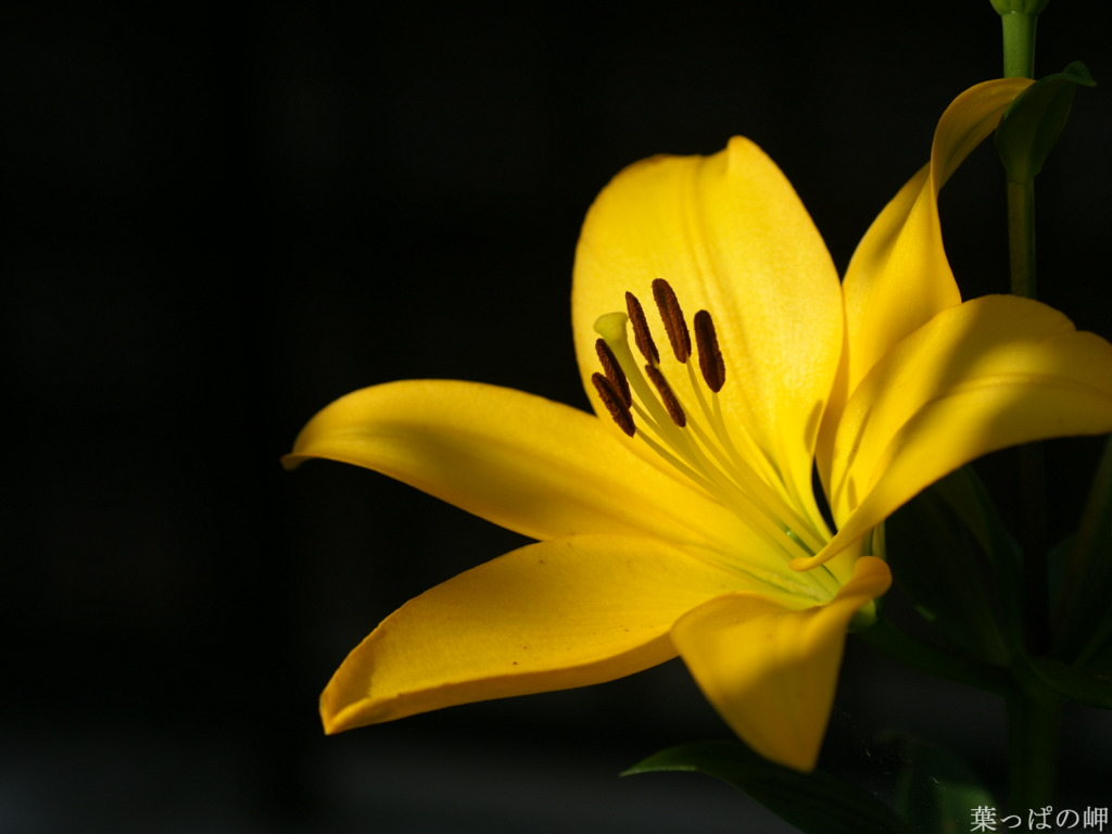 Yellow lilies flower