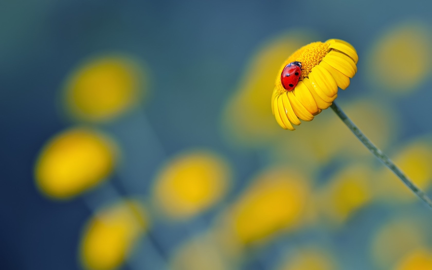 ... yellow flower, daisy, petals, ladybug, nature, macro, picture, hd