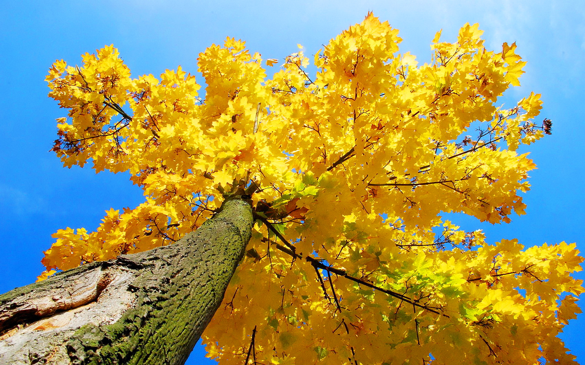 Yellow maple tree autumn