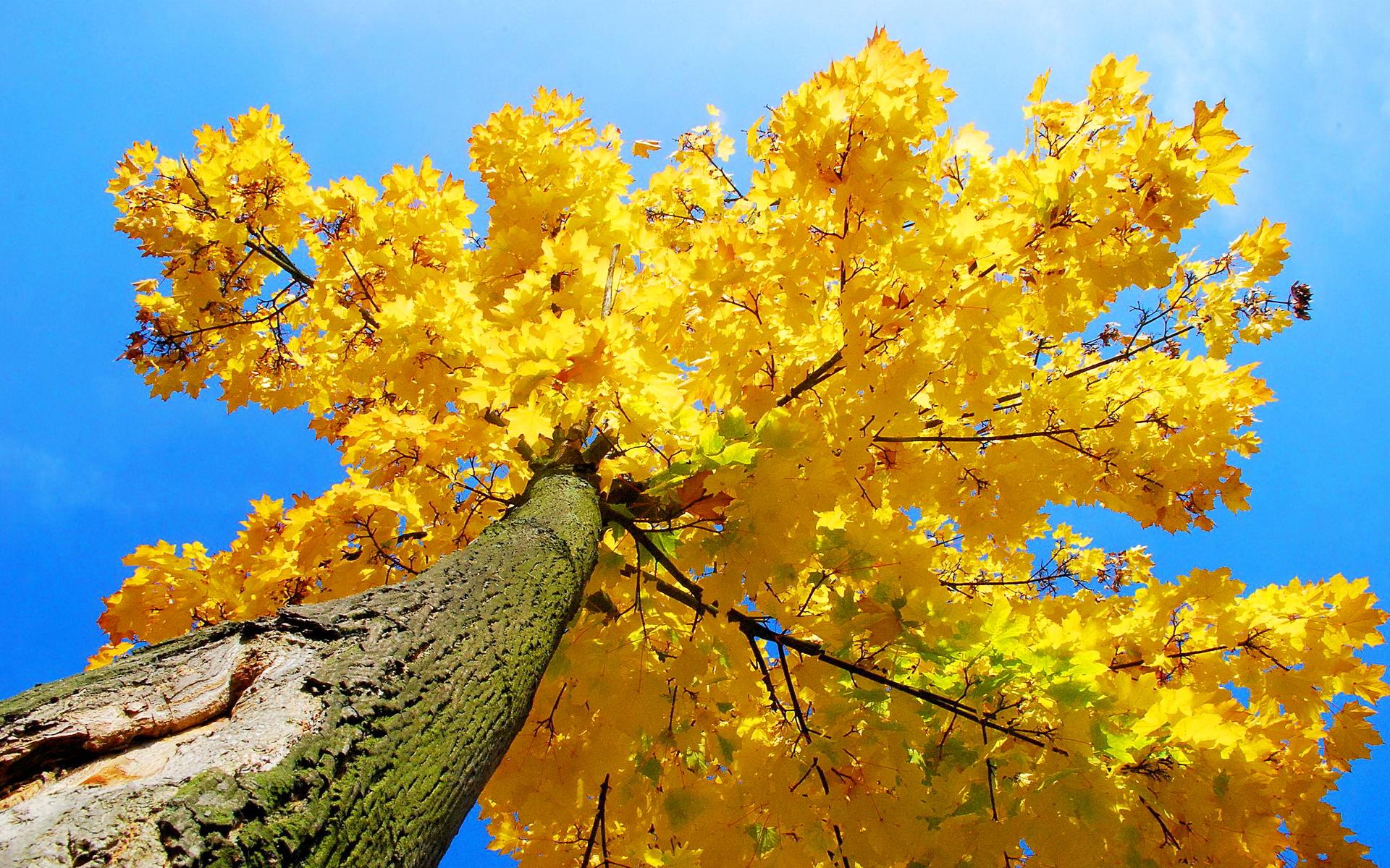 Yellow maple tree autumn