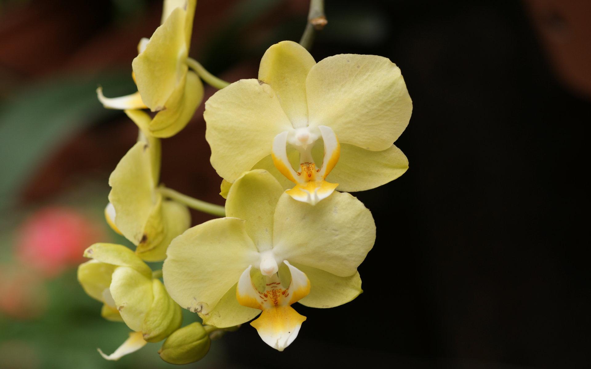 Beautiful yellow orchids