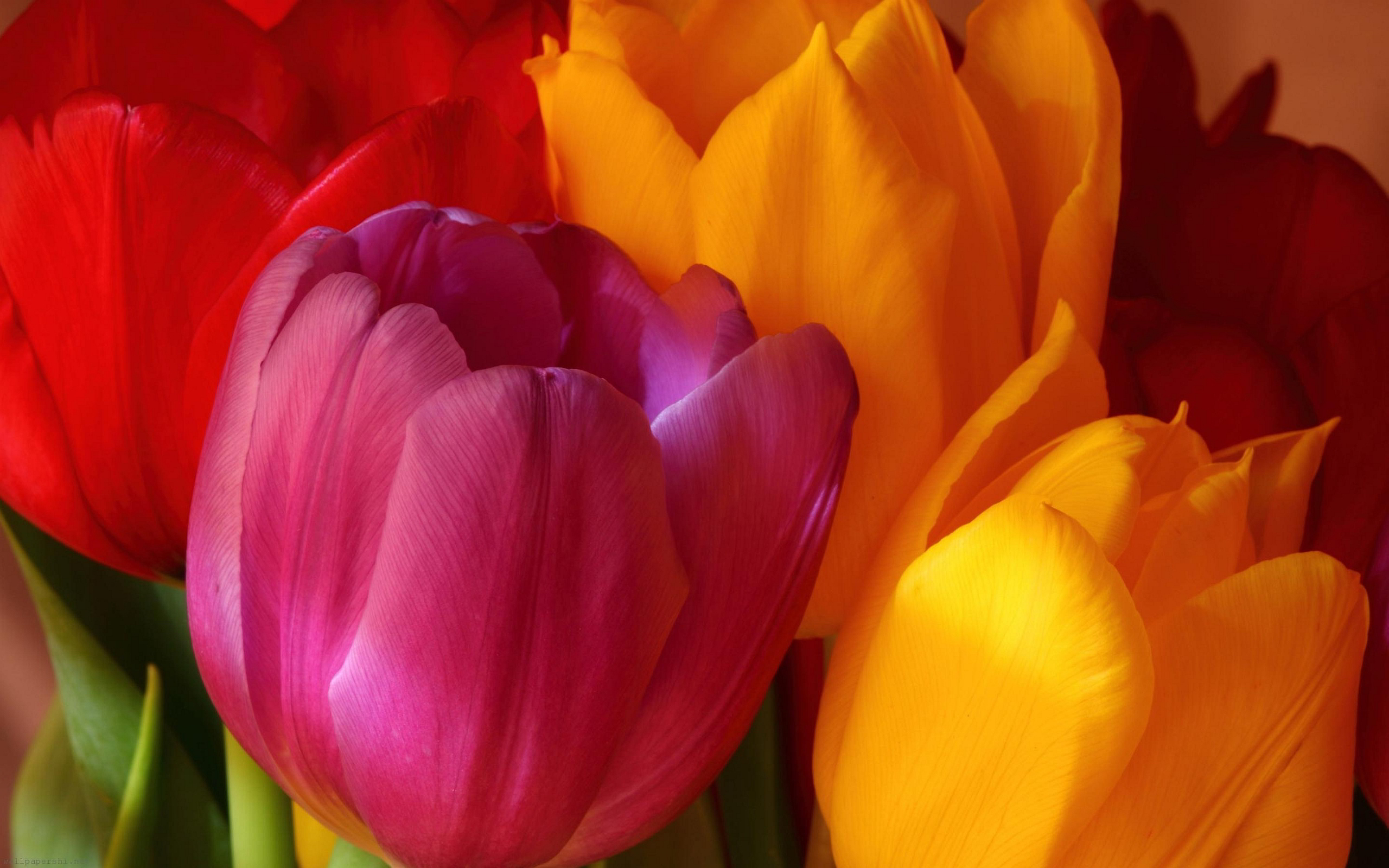 Yellow Pink Red Tulips