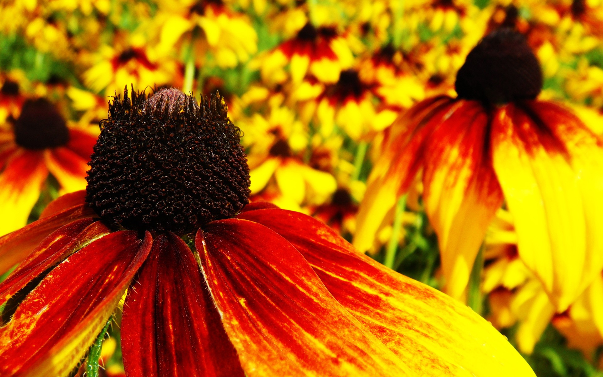 nature red flowers yellow flower petals coneflowers wallpaper background
