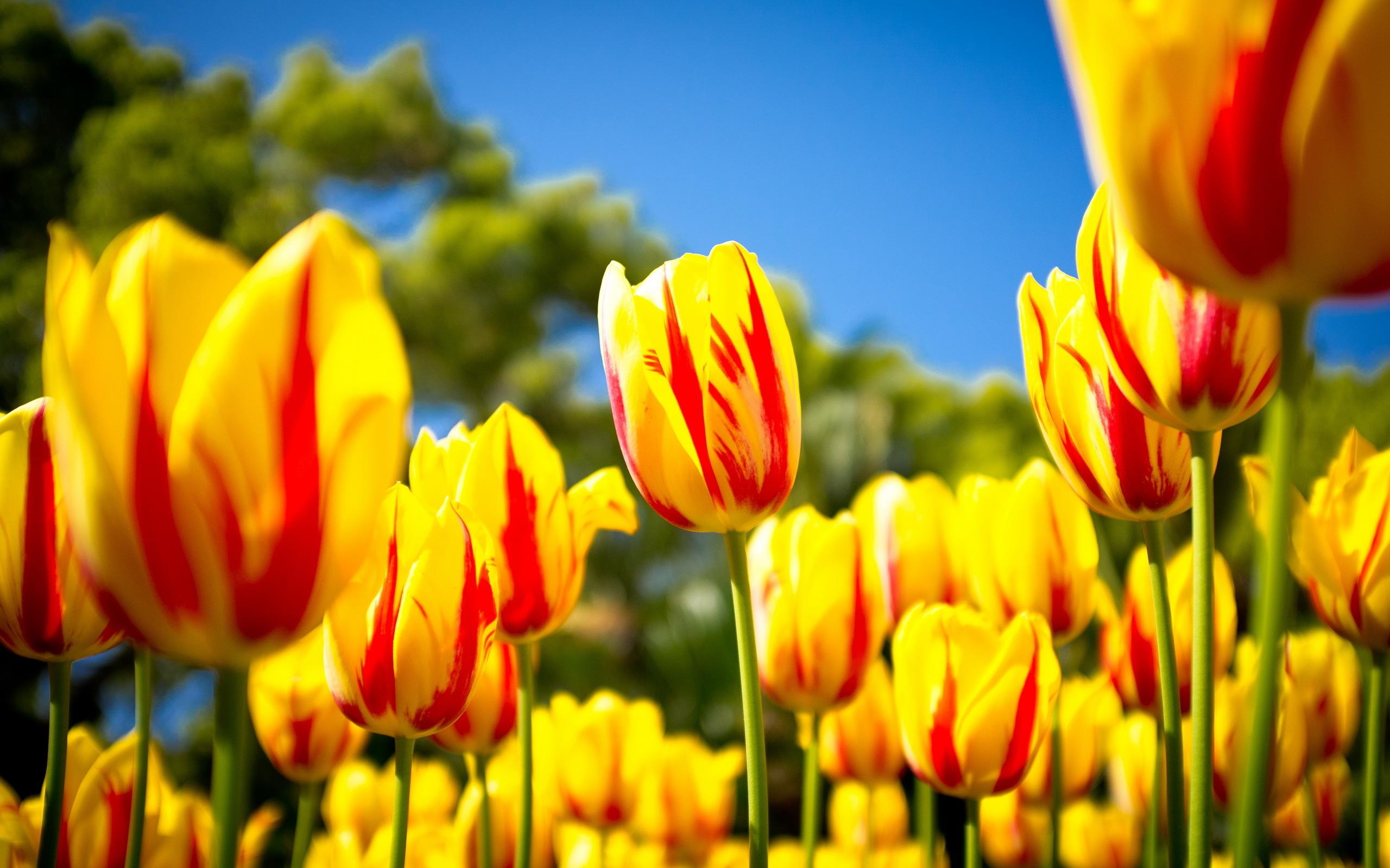Red Yellow Tulips
