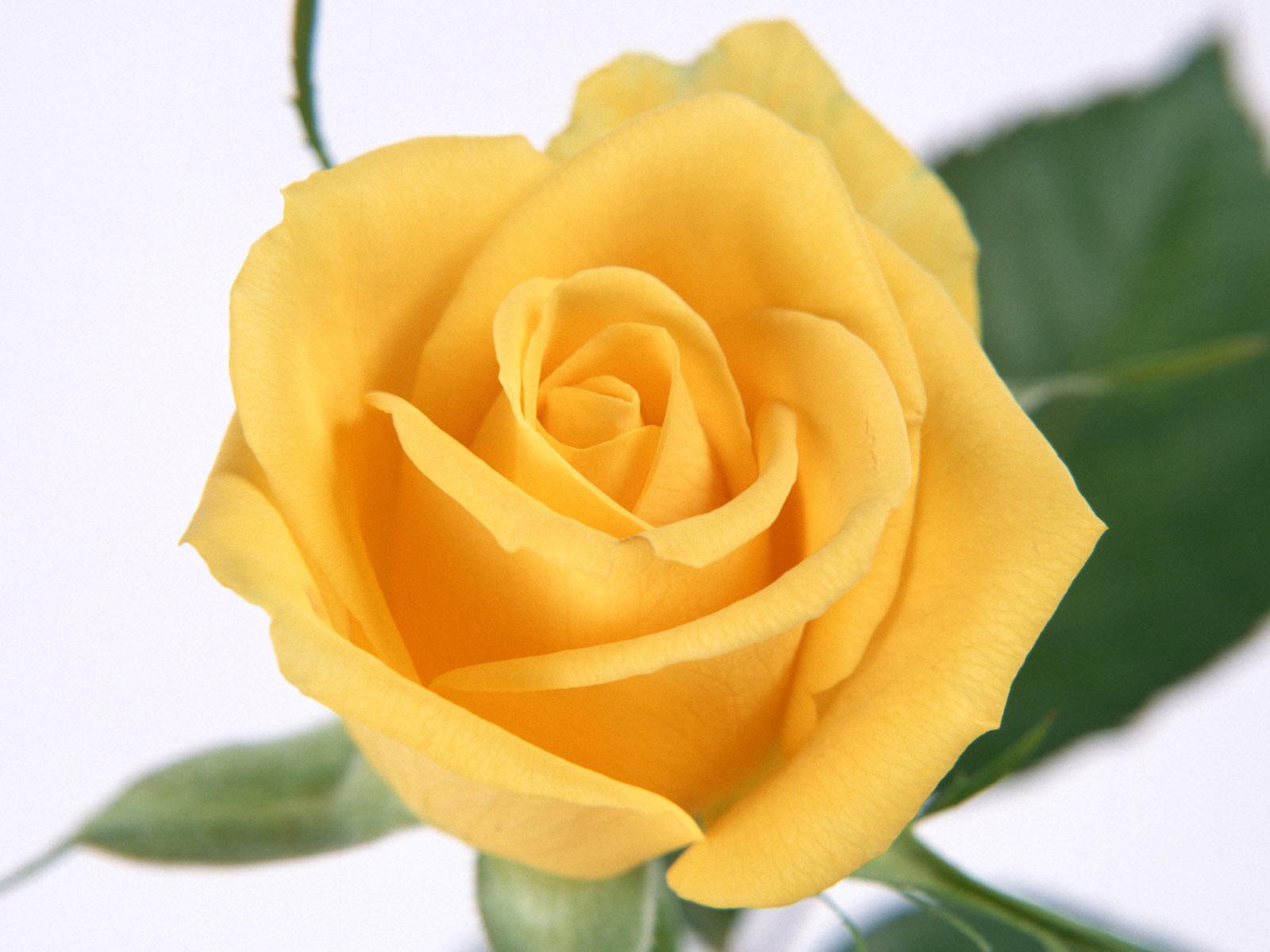 Yellow Rose Desktop Wallpapers