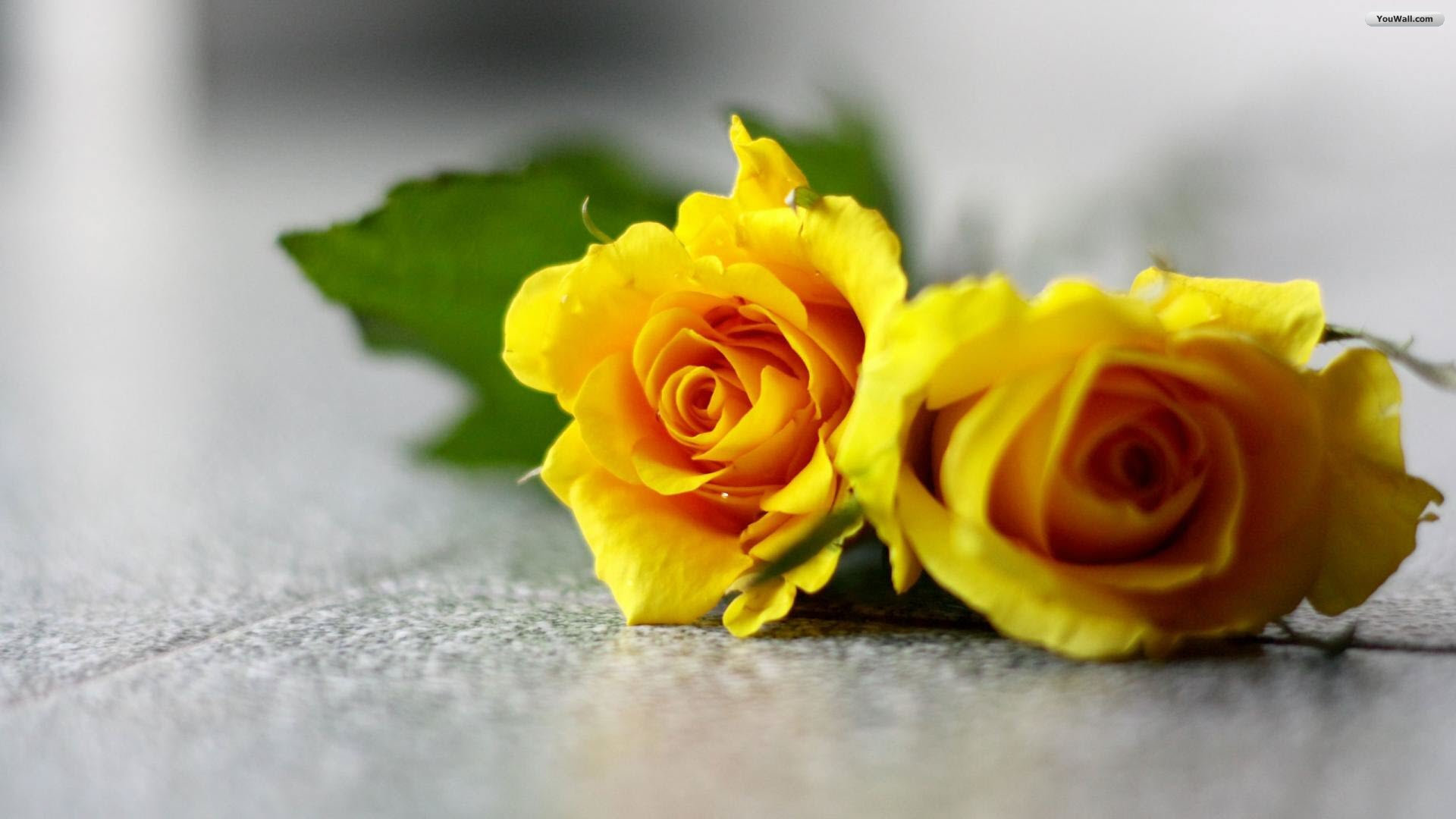 """<p><a href=""""http://www.imgion.com/""""><img src=""""alignnone size-full wp-image-57348"""" alt=""""Pair of nice yellow rose"""" /></a></p><a ..."""