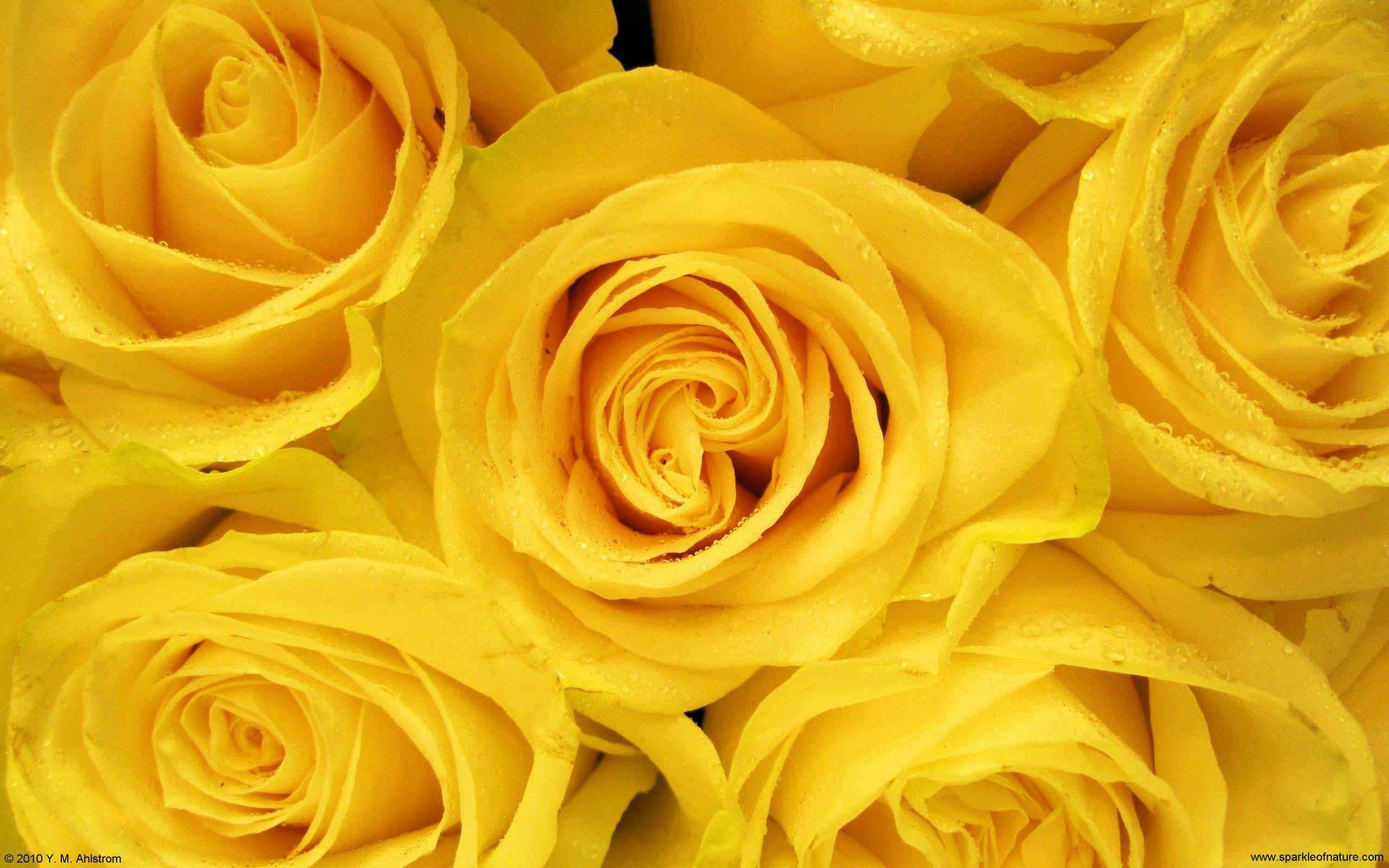 Hd wallpaper yellow flowers - Yellow Roses Wallpaper