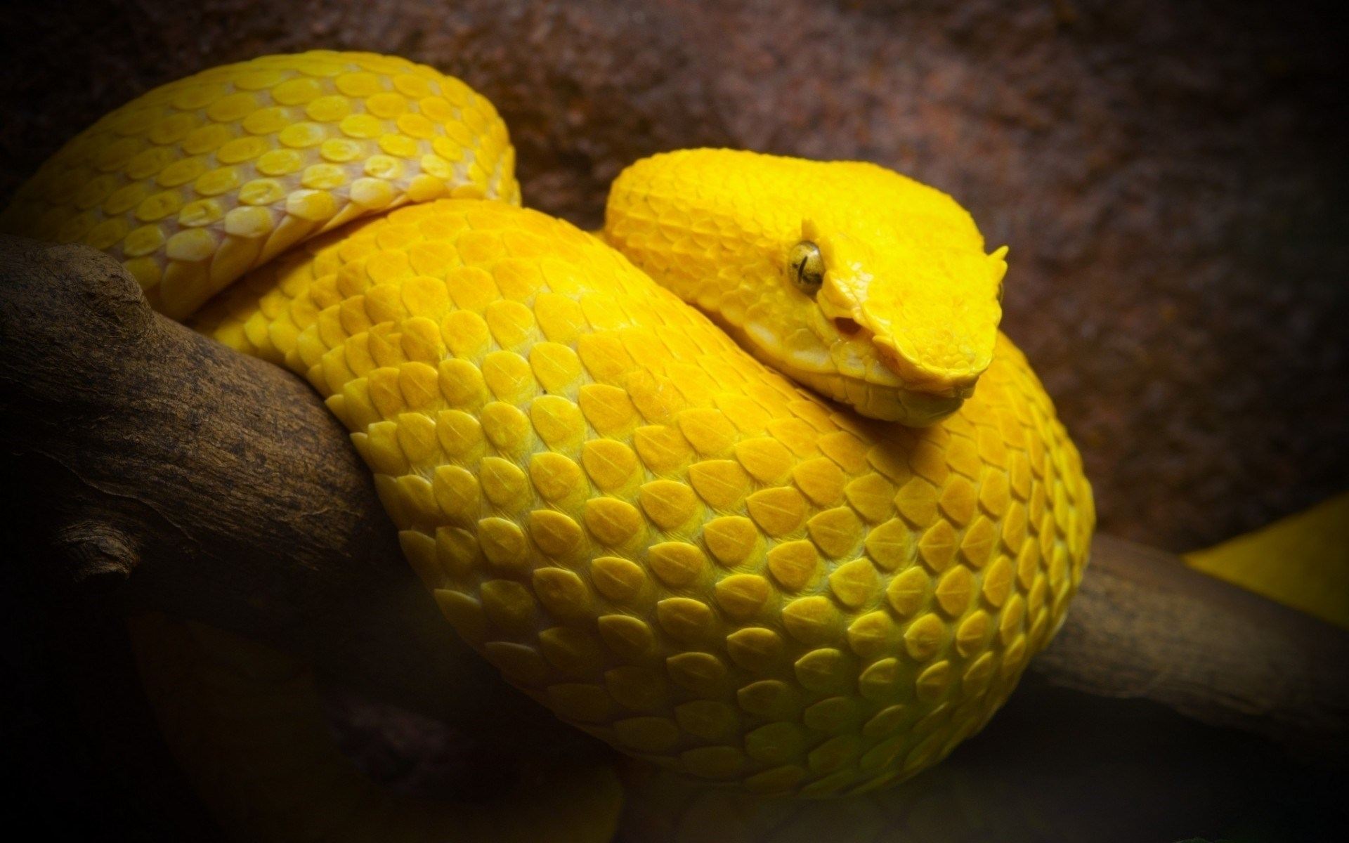 Yellow Snake Wallpaper