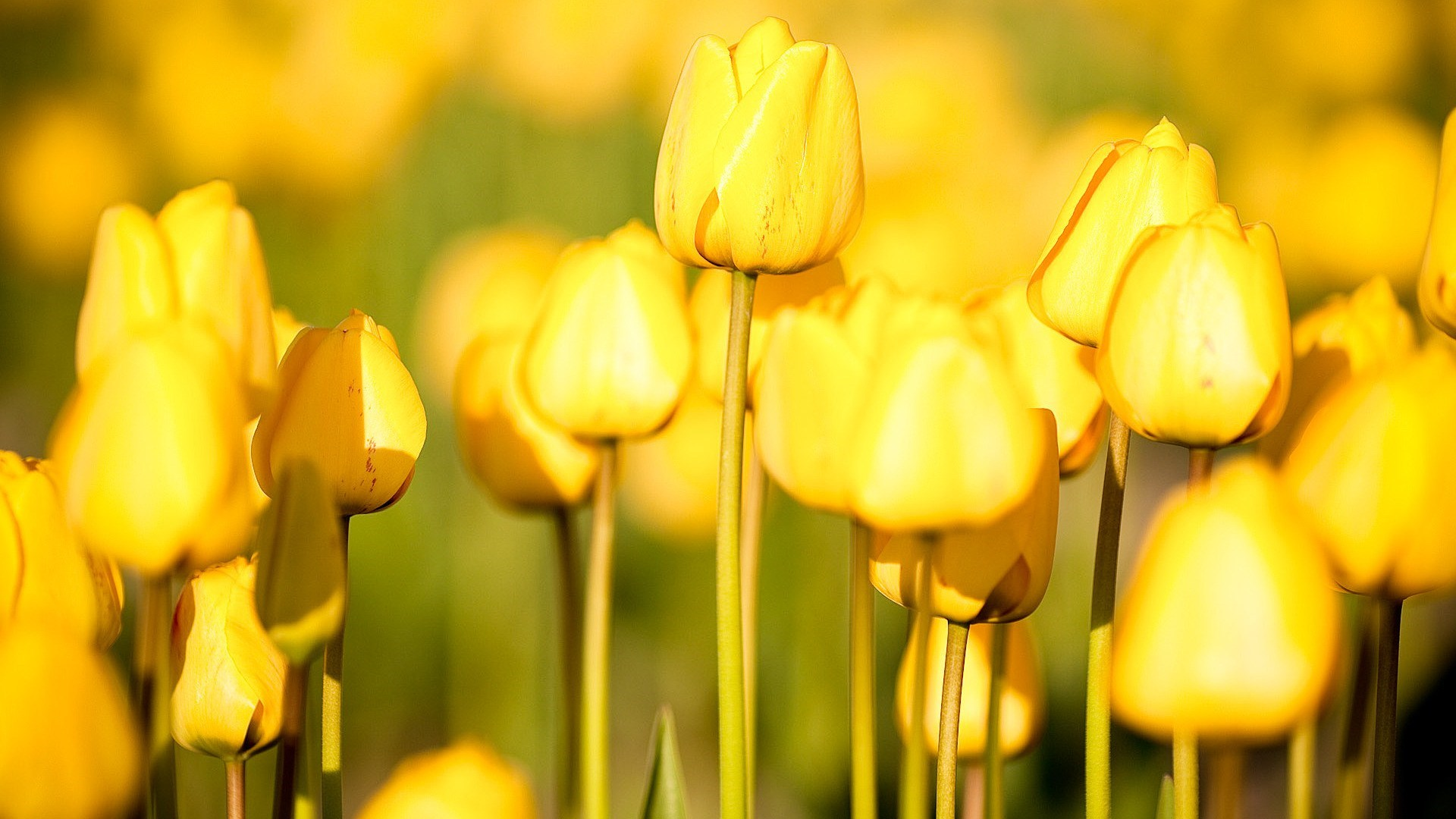 Yellow Flower Wallpaper 1920x1200 42600