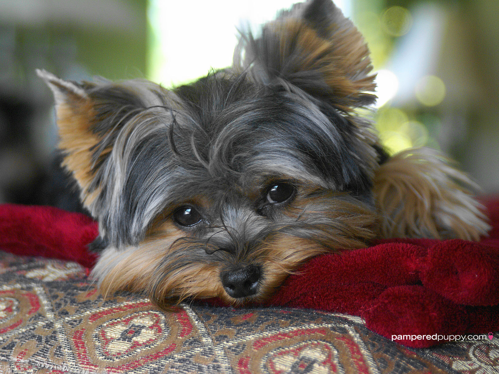 Yorkshire Terriers The beautiful Yorkie