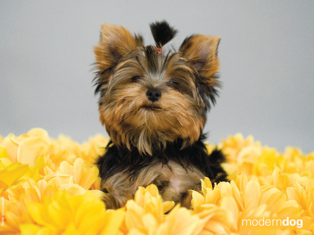 1024x768 wallpaper of yorkies -#main