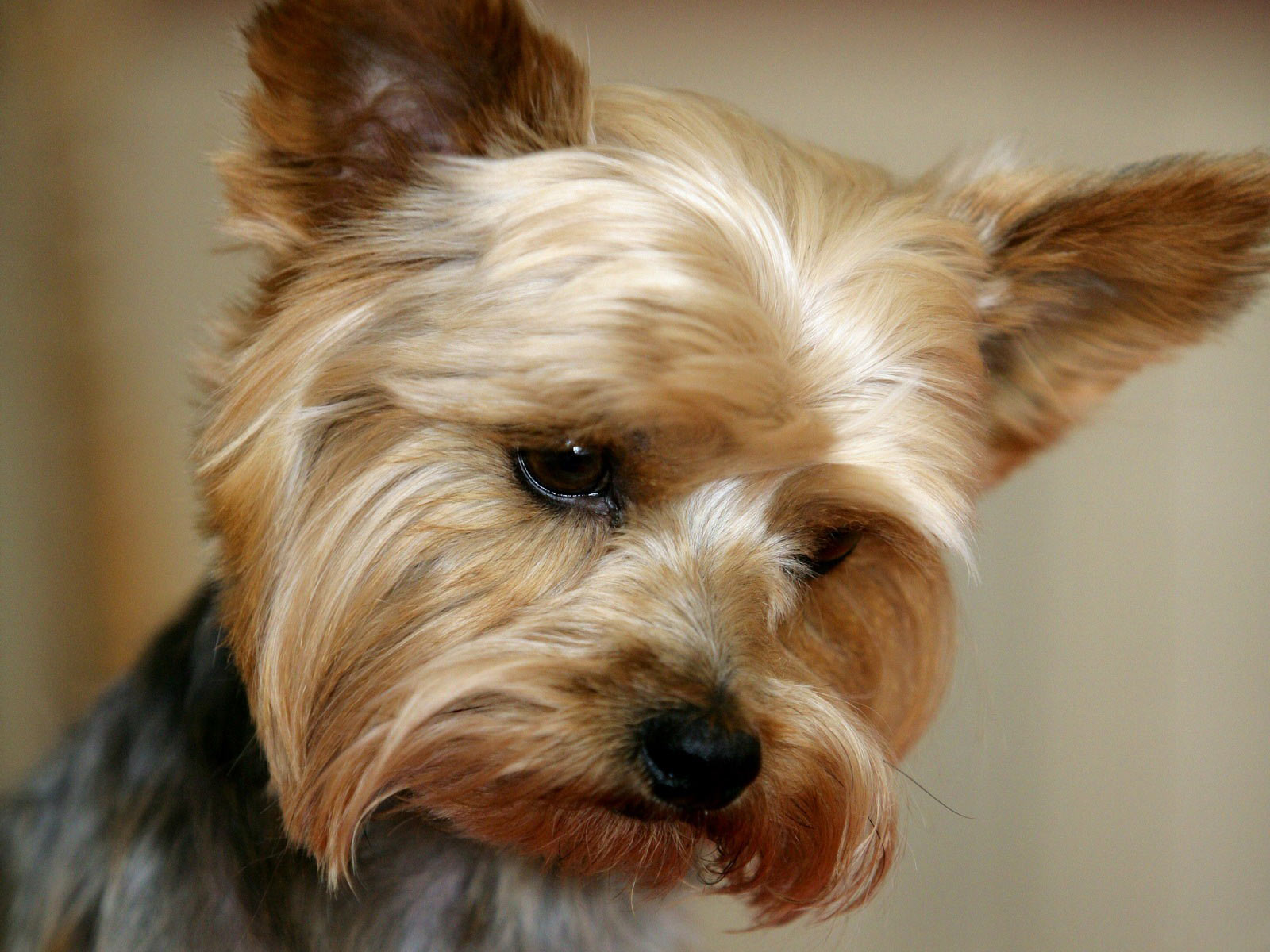 Yorkshire Terrier looking sad