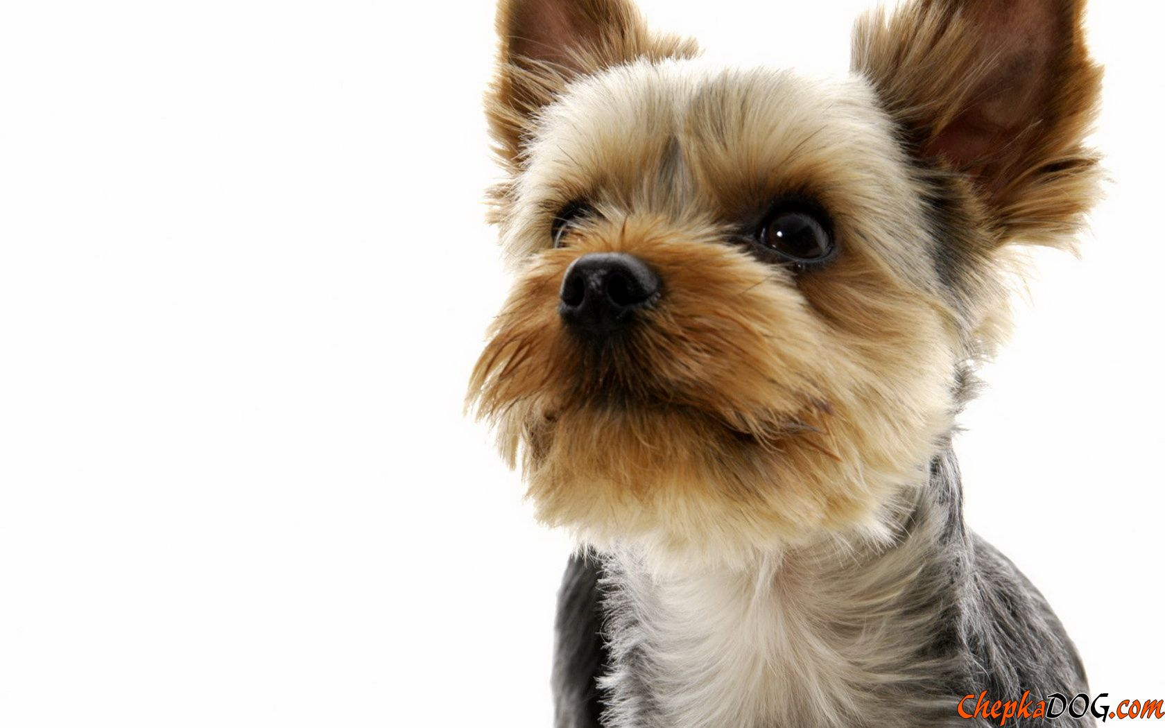 Yorkshire Terrier Pictures 5 HD Wallpapers