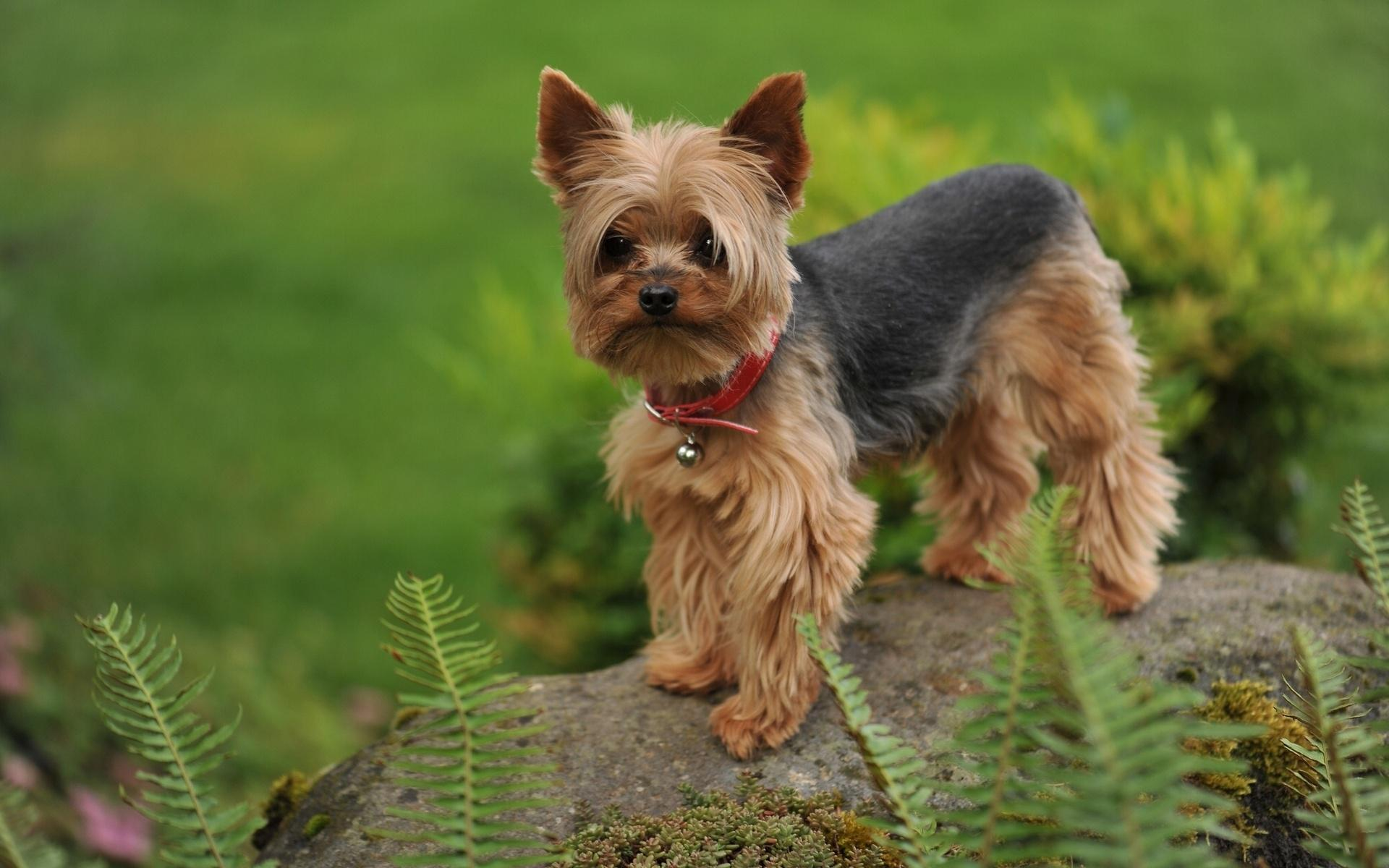Yorkshire terrier HQ Wallpaper