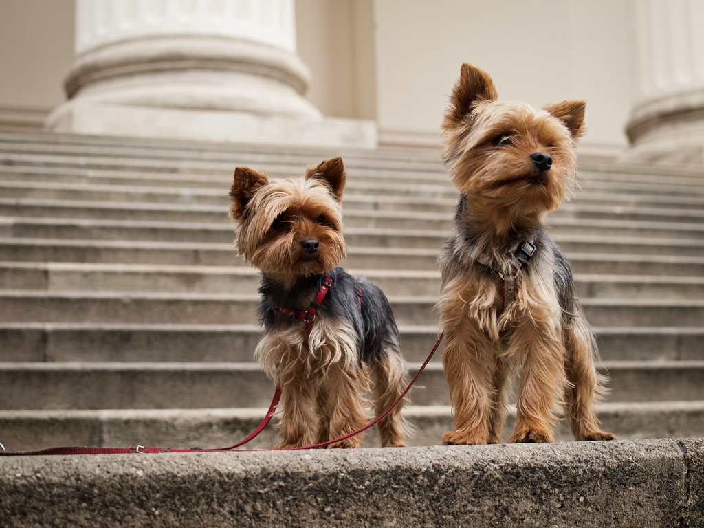 Cute Yorkshire Terrier Couple