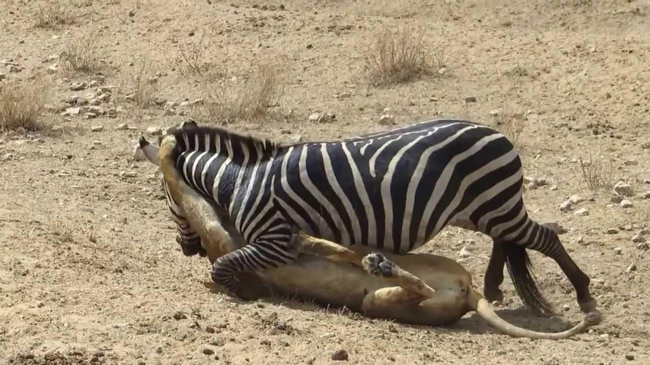 Amazing: Lion vs Zebra | Lion kills zebra almost | Lion hunting zebra | Zebra escapes lion kill