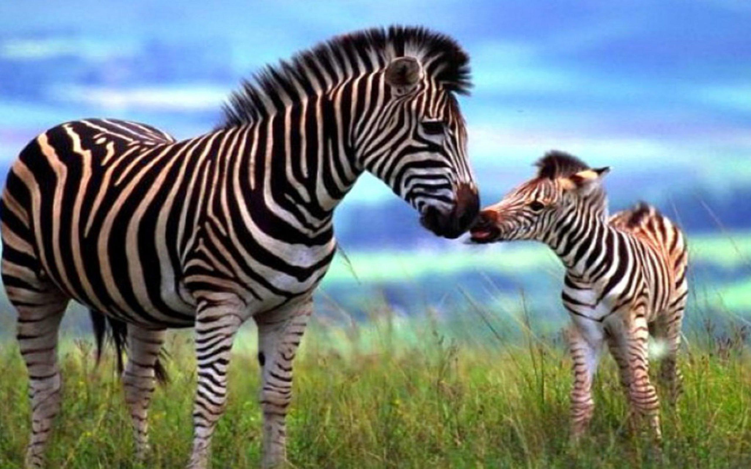 Zebra wallpaper 2560x1600 46808 for Zebra wallpaper