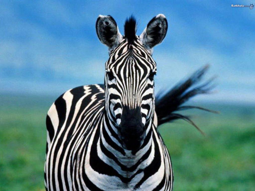 Zebra - meaning of dream