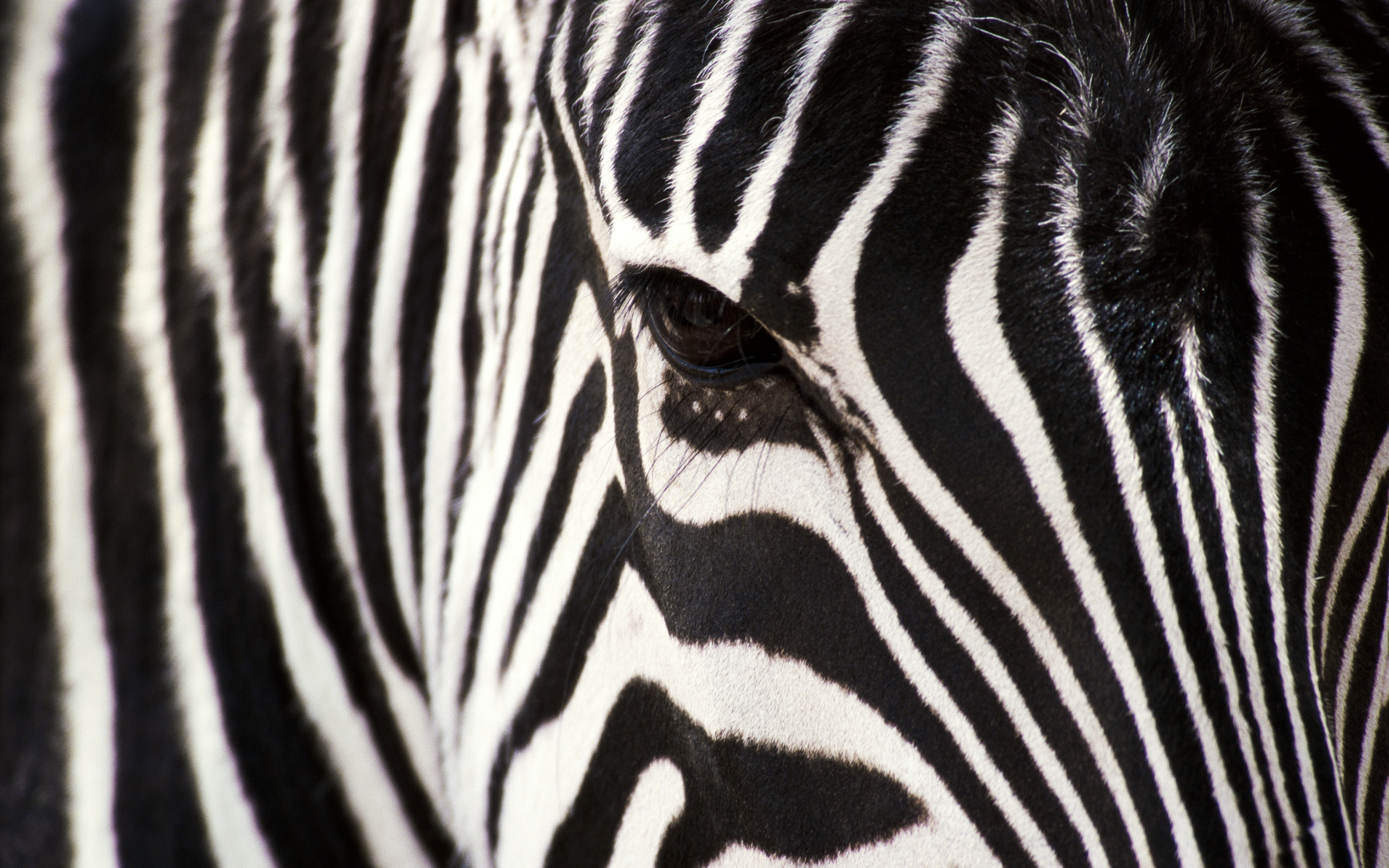 Closeup Face of Zebra with Black Stripes Patterns (click to view)