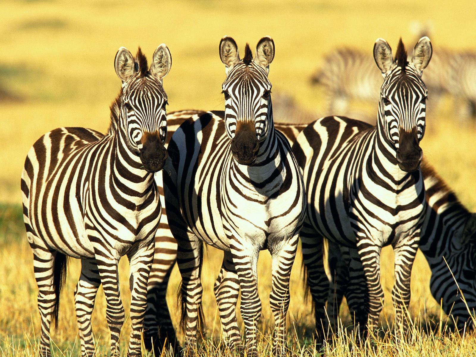 Related Wallpapers. Zebra ...
