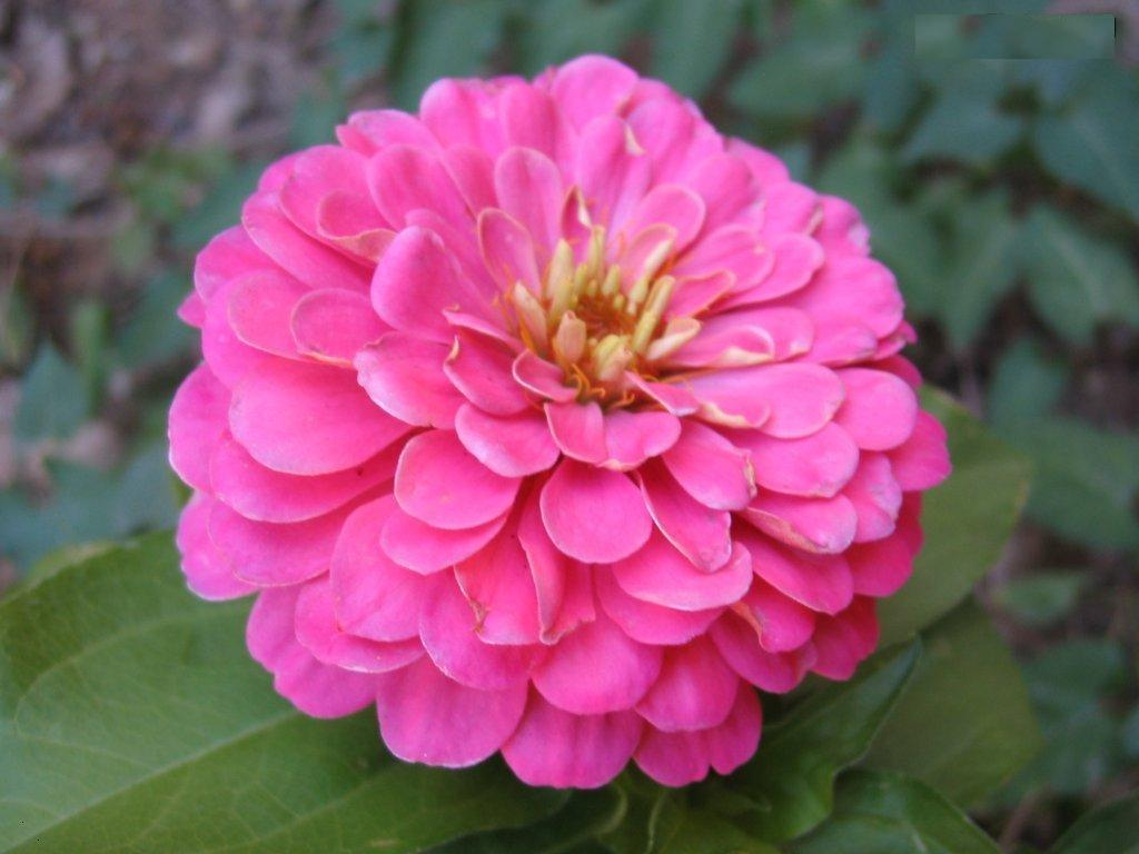Zinnias are annual flowers having long stalk. They are mostly grown to decorate flower vases and making floral arrangements. Gardeners love to plant these ...