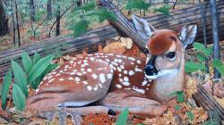 The fawn in forest whitetail deer nature 1024x600