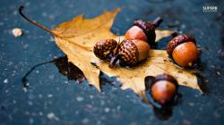 Acorn on wet leaf wallpaper 1366x768