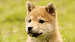 Akita Inu Puppies Wallpapers