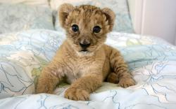 Adorable Baby Lion