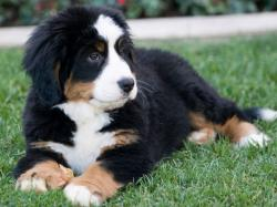 Adorable Bernese Mountain Dog