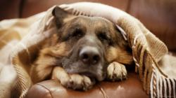 Adorable German Shepherd Sleeping On a Couch Wallpaper picture