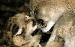Cute Cougar Wallpaper