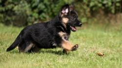 Adorable German Shepherd Puppy Wallpaper 824