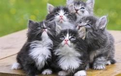 Adorable Grey Kittens