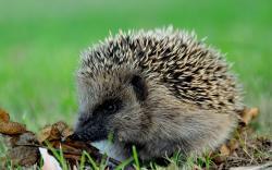 Adorable Hedgehog Wallpaper 16231