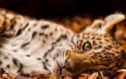 Adorable Leopard Wallpaper