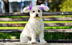 hd poodle puppies wallpapers