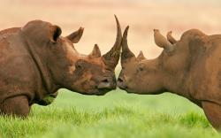 Adorable Rhino Wallpaper