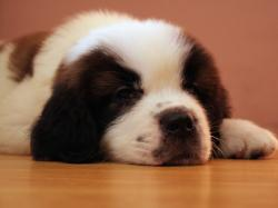 Saint Bernard Puppies Pictures Cute