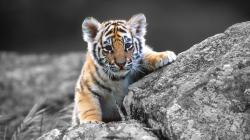 Adorable Tiger Wallpaper