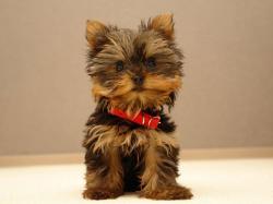 Adorable Yorkie Puppies Dogs Wallpaper Desktop
