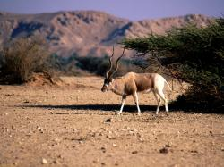 The ever changing animal coat Addax also the screw horn antelope