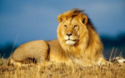African lions are one of the most charismatic species on the planet. Images of the King of the Jungle are etched deeply into our collective conscience.
