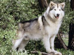 Alaskan Malamute pet background dog