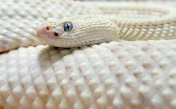White Albino Rattlesnake